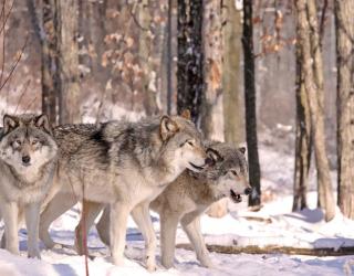 Фотообои волки в лесу 20483