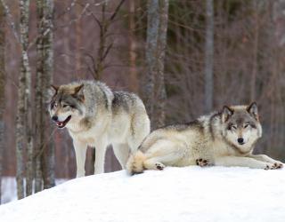 Фотообои два волка на снегу 21521