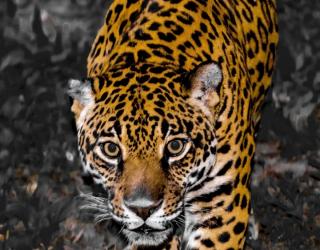 Фотообои леопард крадётся 21228