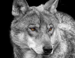 Фотообои белый волк 20819