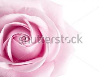 Фотообои Роза 164611553