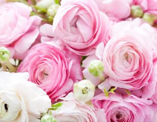 Фотообои Розовые рунункулюсы 23844