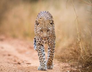 Фотообои гепард 21118