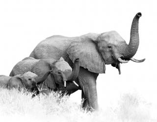 Фотообои семья слонов 21111
