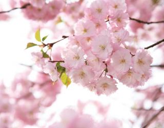 Фотообои Цветы розовой сакуры 24649