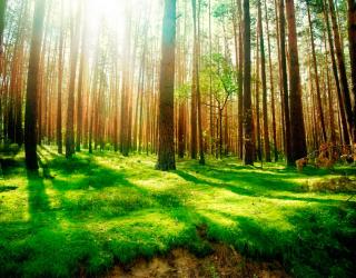 Фотообои Сосновые деревья 10327