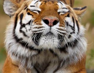 Фотообои тигр потягивается 20379