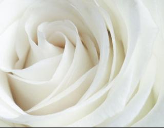 Фотообои Белая роза 22823