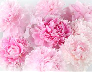 Фотообои Розовые пионы 22668