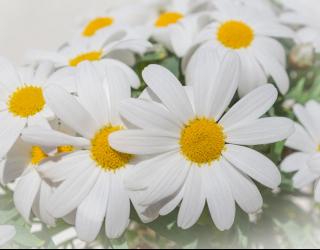 Фотообои Белые ромашки 22604