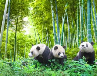 Фотообои Панды в бамбуке 22939
