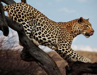 Фотообои Охотящийся гепард 10168