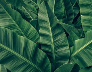 Фотообои Зелёные банановые листья 27043