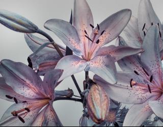 Фотообои Фиолетовые лилии 22534