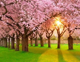 Фотообои Цветущие вишни 4496
