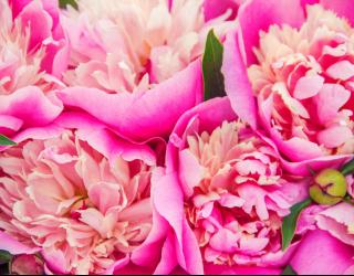 Фотообои Ярко розовые пионы 22912