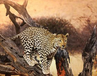Фотообои леопард на ветке 20573