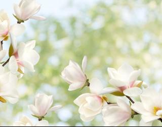 Фотообои Цветы магнолии 22893