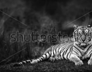 Фотообои Тигр 453748165