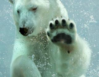 Фотообои белый медведь под водой 20371
