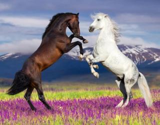 Фотообои белая и черная лошадь 21088