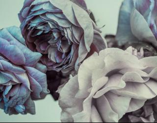 Фотообои Шикарные розовые 22535