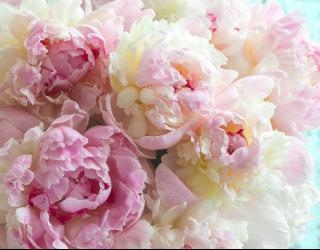 Фотообои Пионы розовые 27812