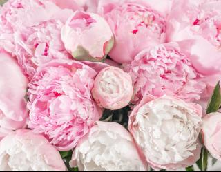 Фотообои Розовые пионы 24726