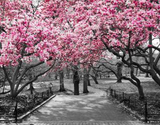 Фотообои Розовые деревья в парке 13782