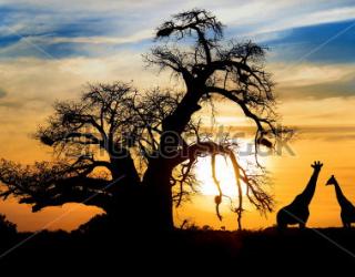 Фотообои Дерево, жирафы 106355684