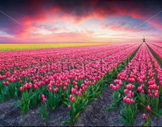 Фотообои Тюльпаны 377588011