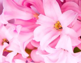 Фотообои Бледно-розовые лилии 11273