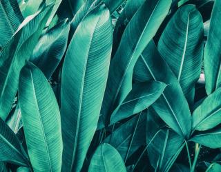 Фотообои Банановые листья 27316