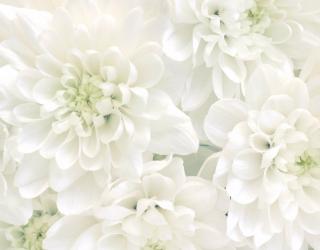 Фотообои Белые хризантемы 24453