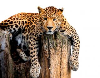 Фотообои Леопард 19570