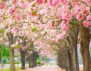 Фотообои аллея из розовых деревьев 20727