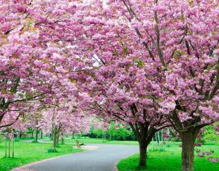 Фотообои Цветущие вишни 4130