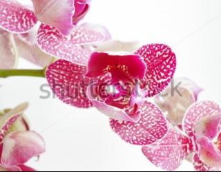 Фотообои Орхидея 455254480