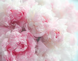 Фотообои Розовые пионы 26043