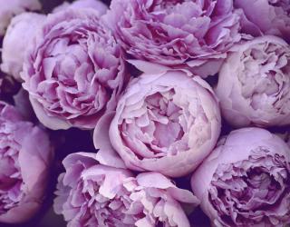Фотообои Фиолетовые пионы 24716