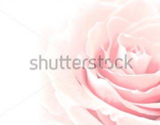 Фотообои Роза 69374269